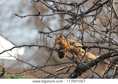 Squirrel, Blond (Eastern Gray) in Tree