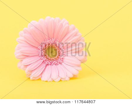 Pink gerber daisy on yellow