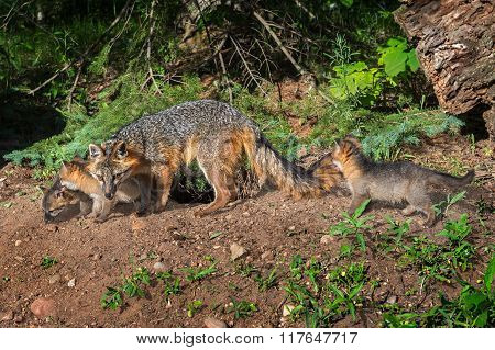 Grey Fox Vixen And Kits (urocyon Cinereoargenteus) Walk Along