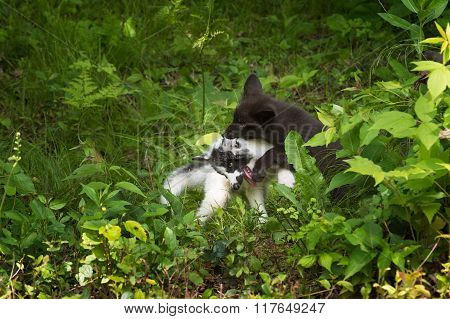 Marble And Silver Fox (vulpes Vulpes) Wrestling