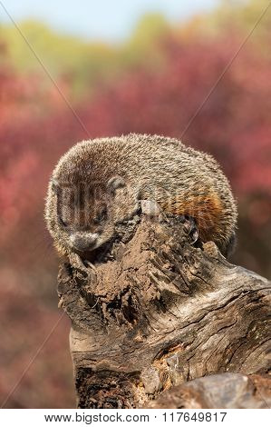 Woodchuck (Marmota monax) Takes a Snooze - captive animal poster