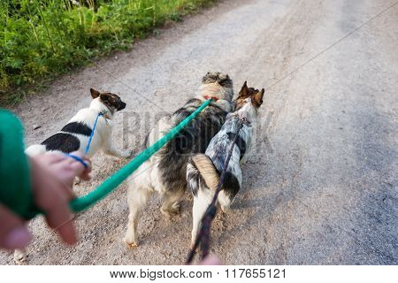 Unrecognizable man walking three dogs on a dry dusty road