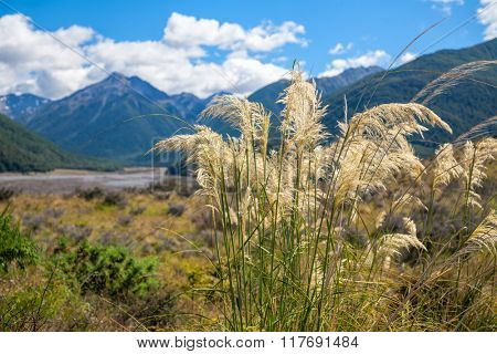New Zealand summer landscape with native Austroderia grass  commonly known as toetoe and mountain range in background focus on grass