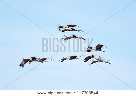 Sandhill Cranes in Flight with Blue Sky Background