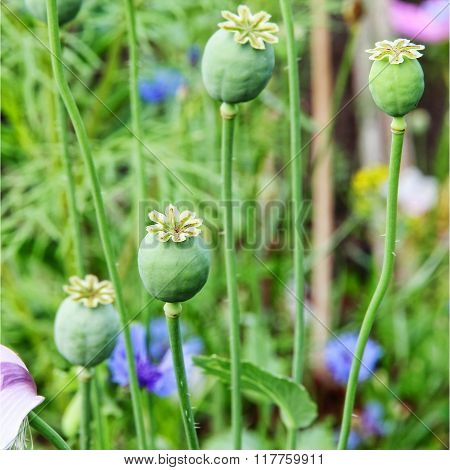 Green Opium Poppy Heads On Field.
