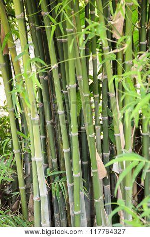 green bamboo tree in garden