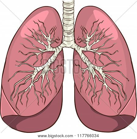 Vector Illustration Of A Lung Detailed Medical Illustration