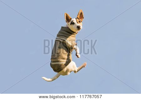 Jack Russell dog jumping up high in the air looking at the camera. A funny moment of a flying dog.