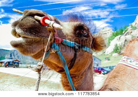Close-up Of Camel, Mongolia