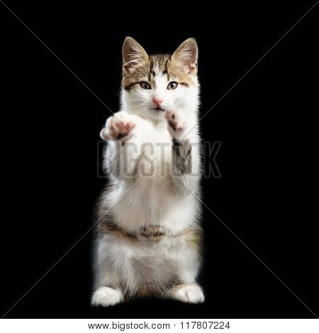 Trained kitten stands on two paws