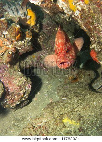 Tomato Rock Cod (Grouper)