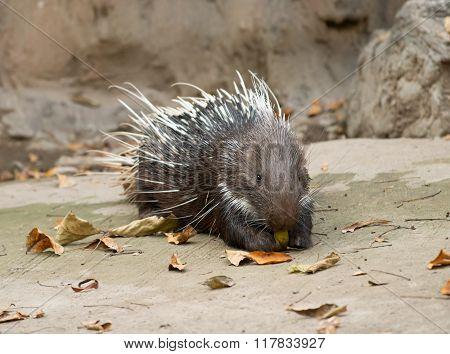Malayan porcupine Himalayan porcupine Large porcupine (Hystrix brachyura) poster