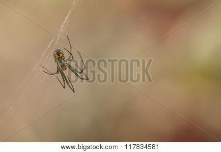Orchard Orbweaver Spider