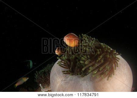 Sea Anemone and Skunk Anemonefish