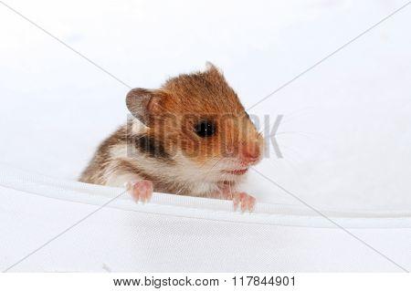 Baby Brown Black Hamster Peep