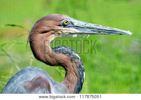 Portrait of a Goliath heron (Ardea goliath) on green natural background