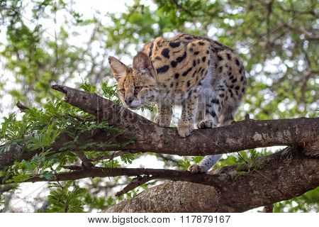 Serval In A Tree