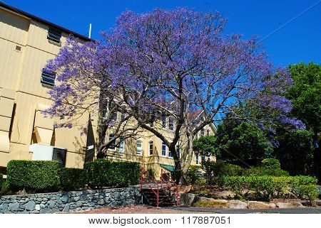 Large flowering jacaranda tree in Brisbane, Queensland