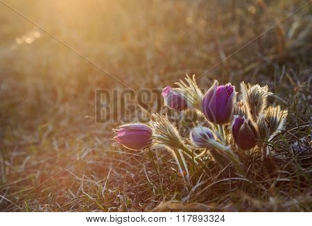 Pasque flower at the sunset