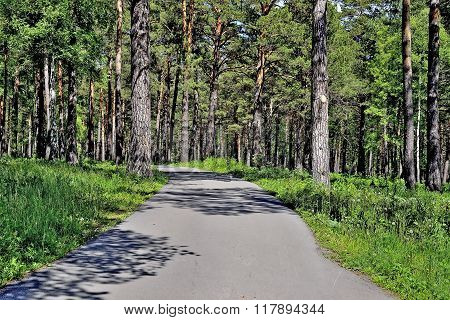Path Of Health In The Park Among Huge Pine Trees.