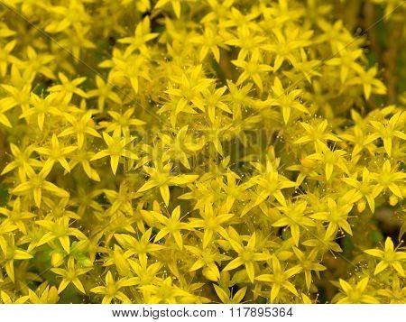 Flower Yellow Stonecrop Varieties Sultan
