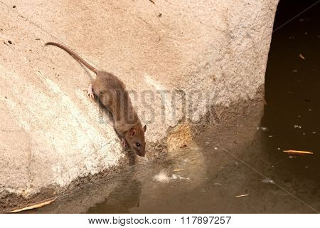 Common Brown Rat In Urban Environment