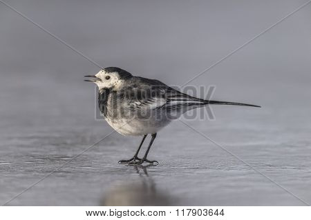 Pied wagtail Motacilla alba standing on ice tweeting poster