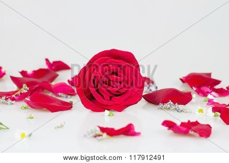 Red Rose With White Background
