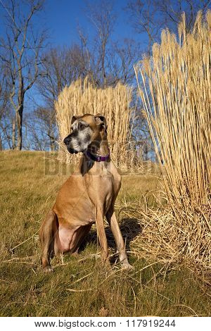 Sweet fawn colored great Dane sitting in field with tall grass looking left