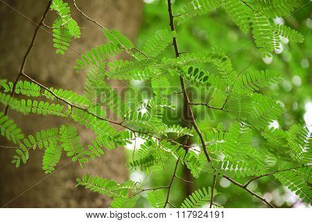 Tamarind leaves.