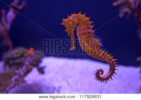 Closeup Seahorse In Aquarium