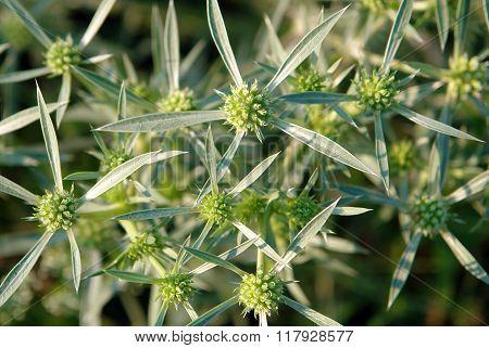 Field Eryngo Flowers