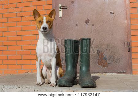 Smart basenji doesn't like the idea of being dirty after spring outdoor strolls