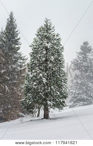 Beautiful Winter Forest While Snow Flurry