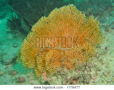 Orange Sea Fan Coral