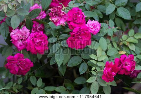 field of red roses (rosaceae)