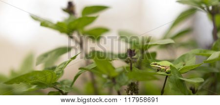 Camouflage Ability Of Australian Green Tree Frog