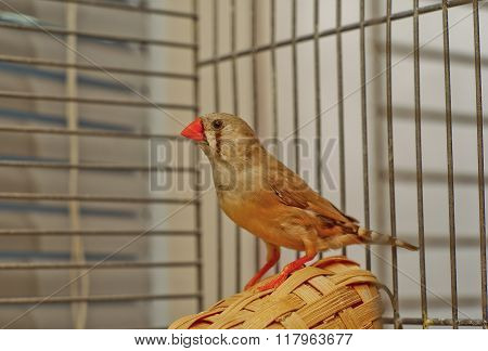 Little Zebra-finch bird with a red beak sitting on a basket in a cage