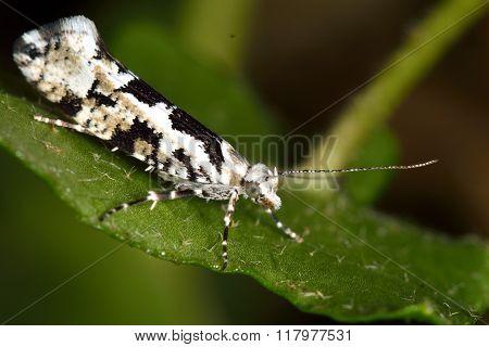 Ypsolopha sequella micro moth