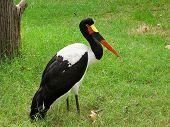 Saddle-billed stork Ephippiorhynchus senegalensis resting on a meadow poster