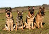 four purebred german shepherd sitting in a field poster