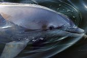 a dolphin swims in a lagoon in florida. poster