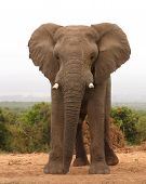 african elephant bull staring down all-comers at a waterhole poster