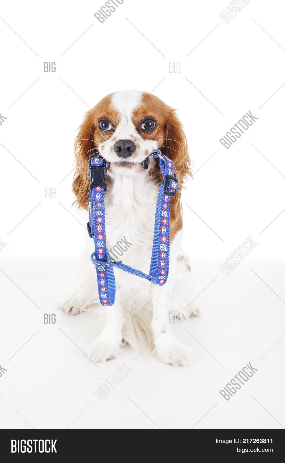 Great King Charles Canine Adorable Dog - 217263811  2018_936227  .jpg