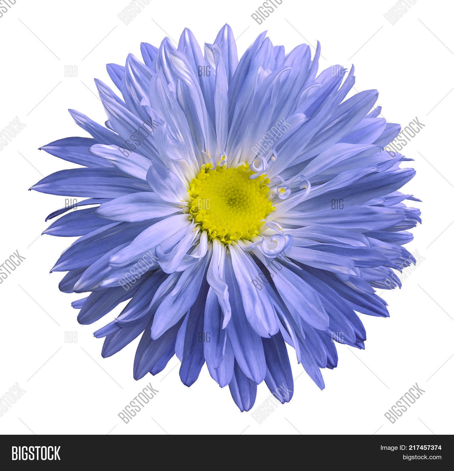 Blue Aster Flower On Image Photo Free Trial Bigstock