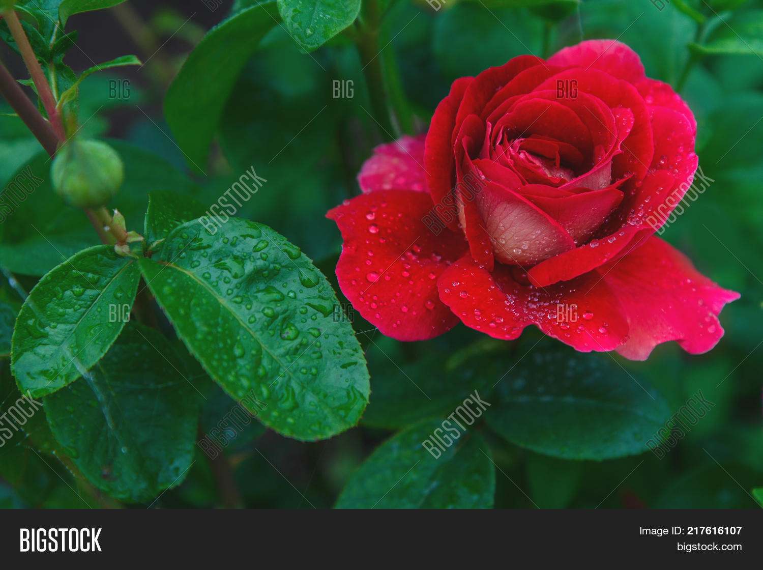 Favorite flowers very image photo free trial bigstock favorite flowers a very beautiful rose beautiful red rose with drops of dew izmirmasajfo