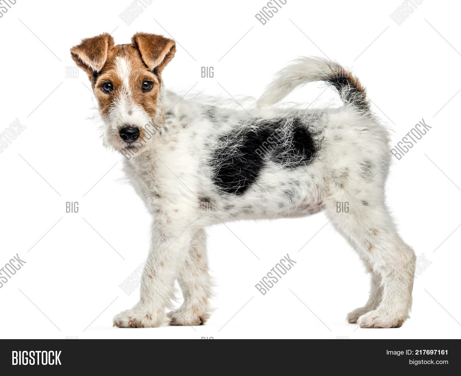Side View Fox Terrier Image & Photo (Free Trial) | Bigstock