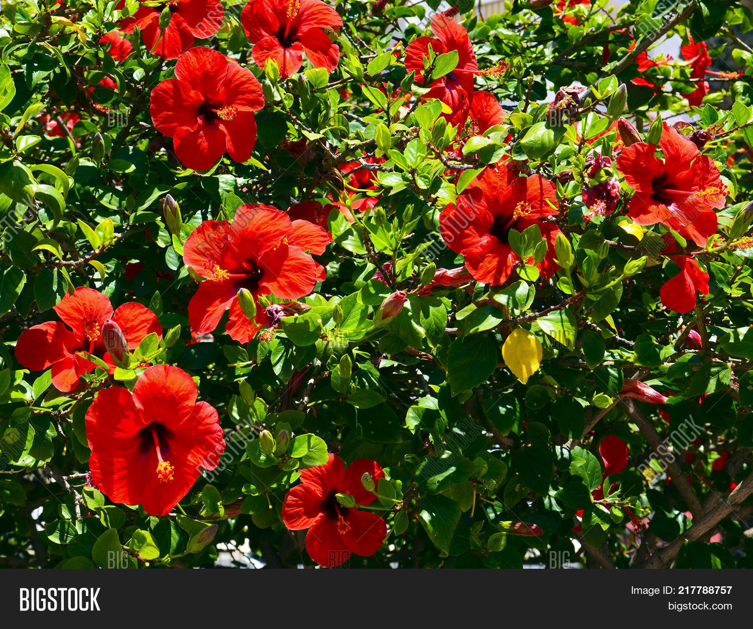 Red Hibiscus Flowers Image Photo Free Trial Bigstock