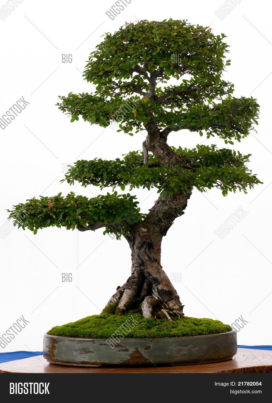 Chinese Elm Bonsai Image Photo Free Trial Bigstock