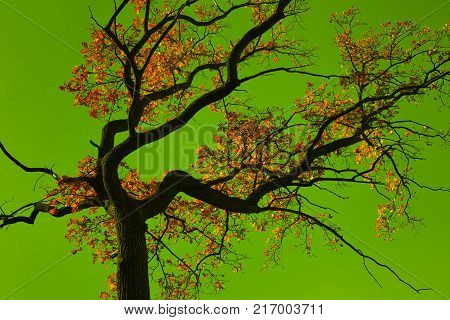 Incredible colors of autumn. Autumn oak tree on a background of the unthinkable colors of the sky. Transformed background.